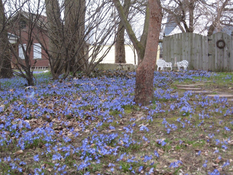 blue flowers in yard